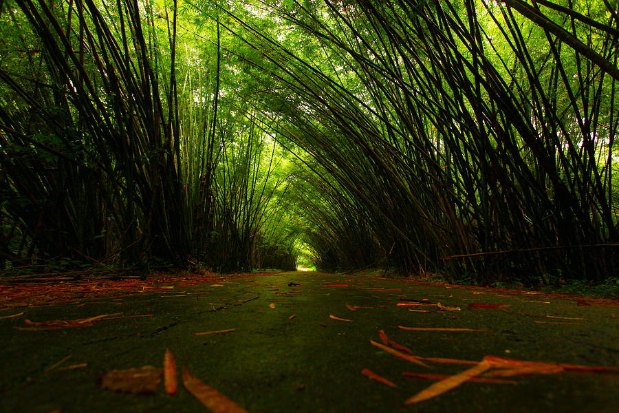 Bamboo Photograph - Bamboo Cathedral by Dexter Browne