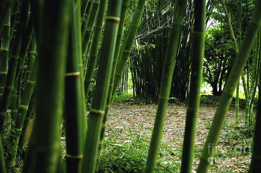 Bamboo Photograph - Bamboo Forest by Andres LaBrada
