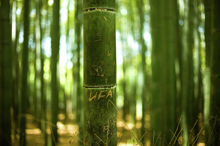 Bamboo Forest In Kyoto Photograph by Rex Tc Wang