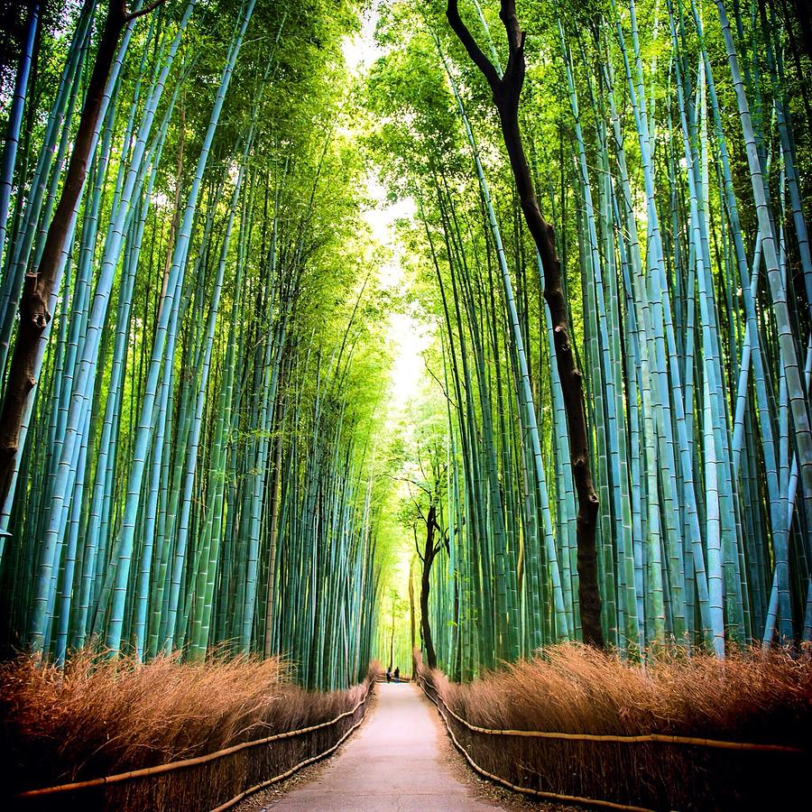 Bamboo Forest Photograph by James Kang / Eyeem