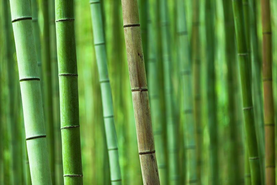 Bamboo Grove Photograph by 35007