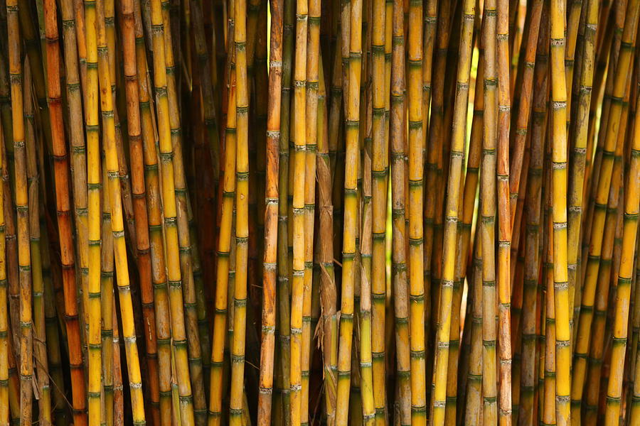 Bambo Photograph - Bamboo by Jacqui Collett