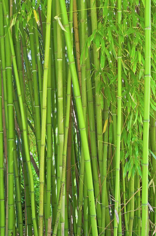 Bamboo Plants Photograph by Kerrick