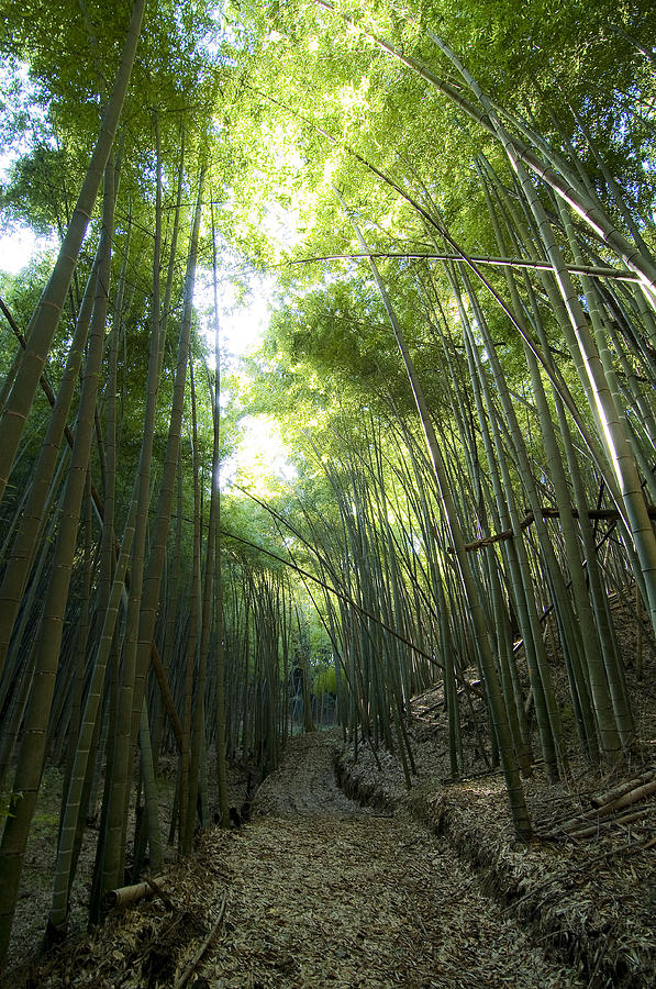 Bamboo Photograph - Bamboo Road by Aaron Bedell