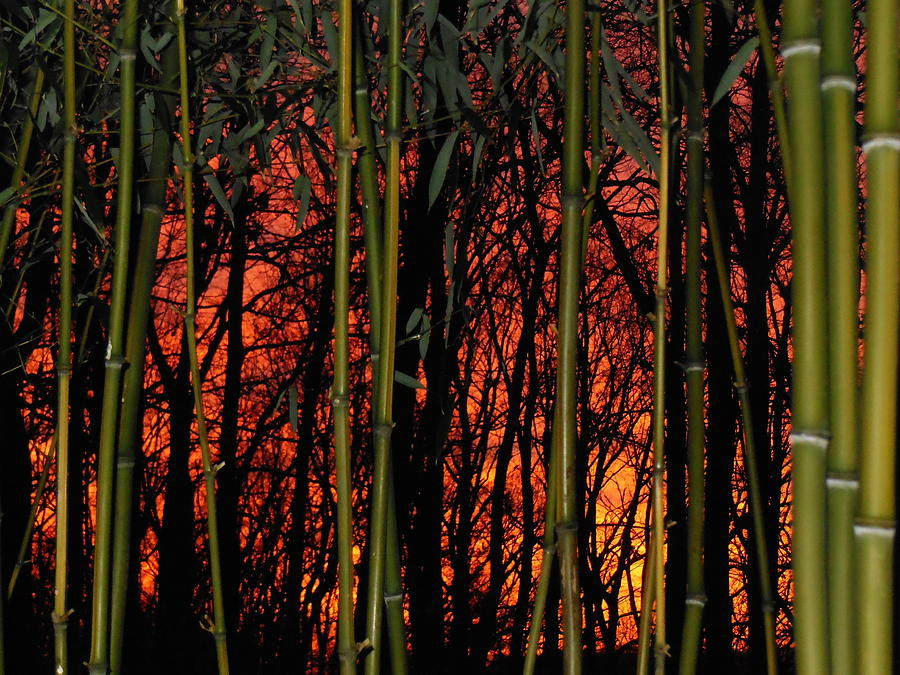 Bamboo Photograph - Bamboo Sunset by Sharon Costa