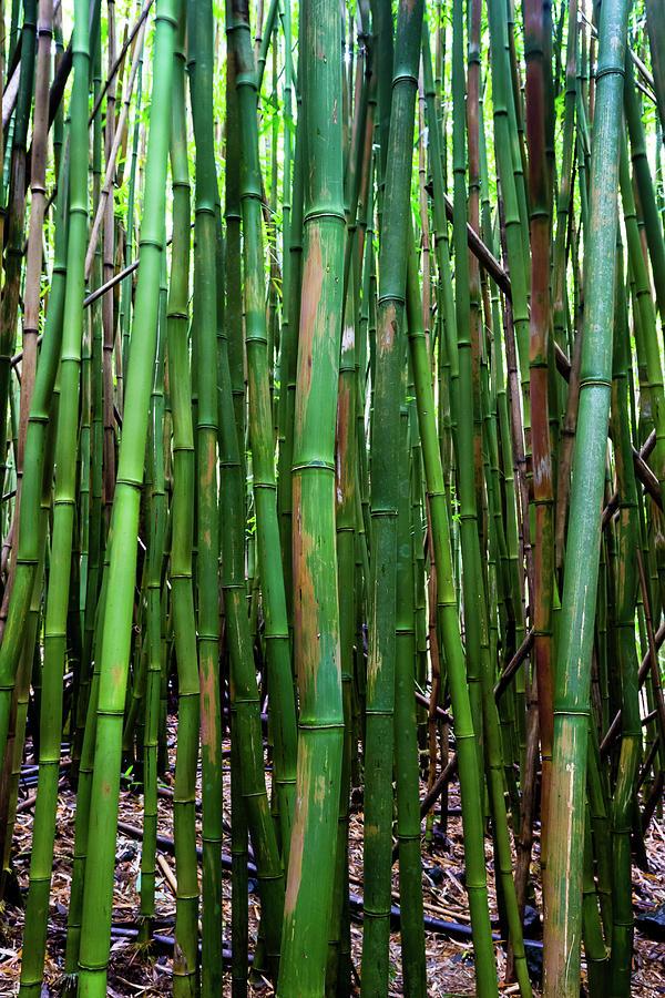 Bamboo Trees Maui Hawaii Usa Photograph By Panoramic Images