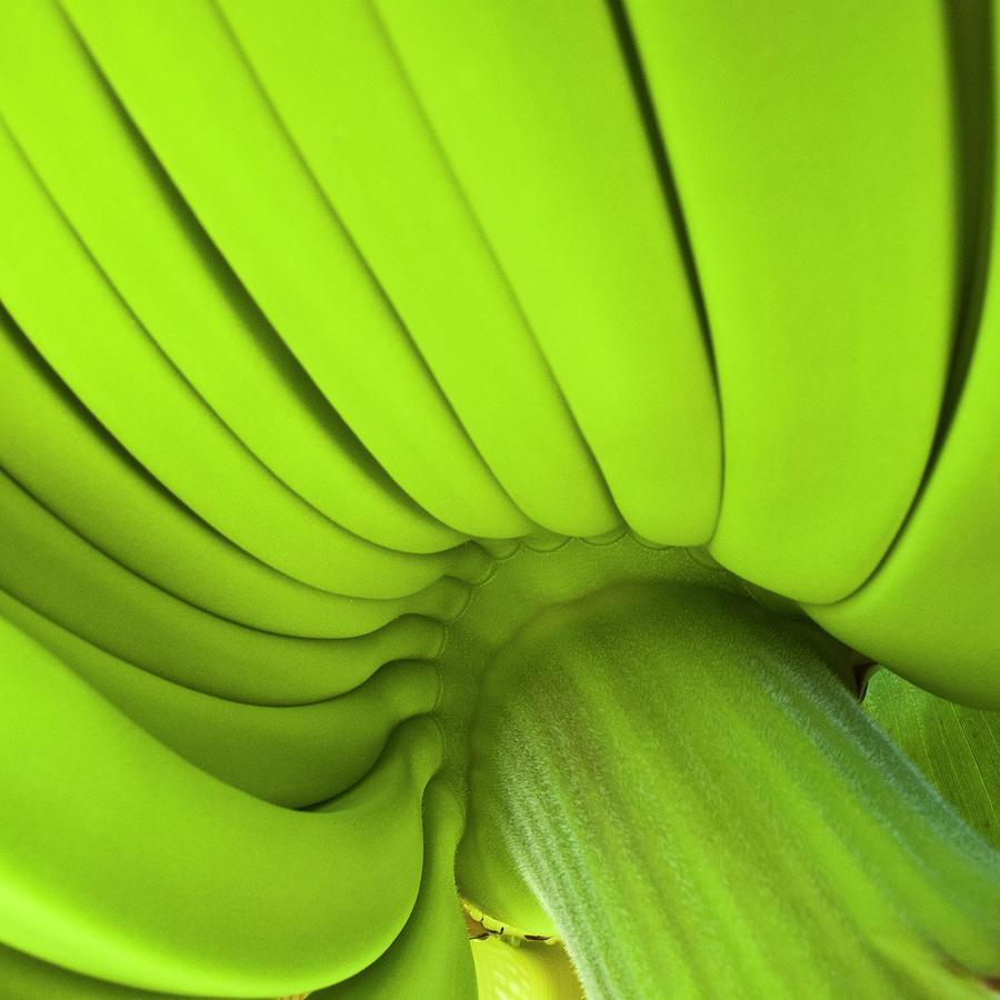 Nature Photograph - Banana Bunch by Heiko Koehrer-Wagner