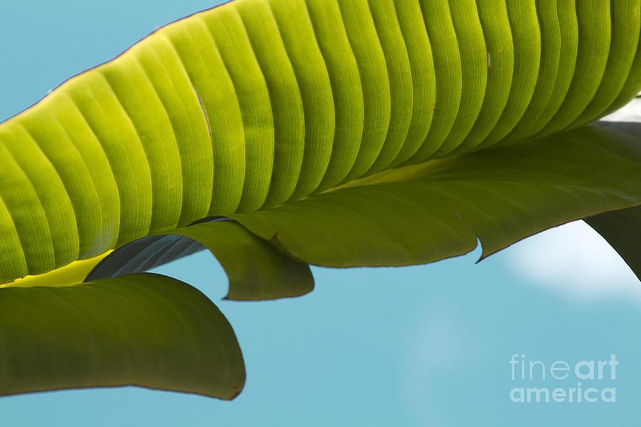 Banana Leaf And Maui Sky Photograph by Sharon Mau