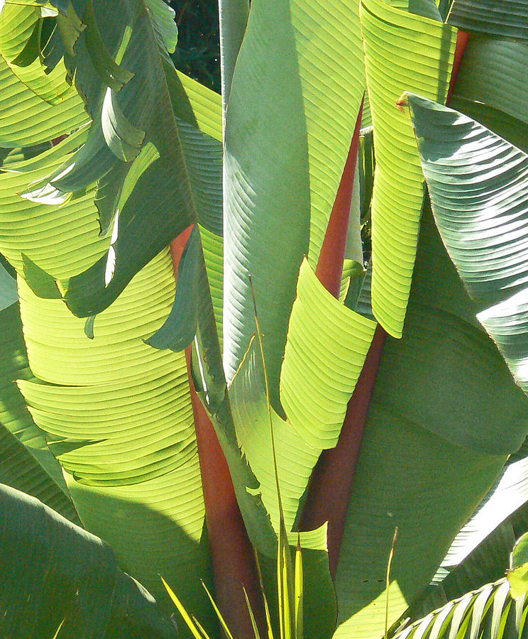 banana leaf design photograph by margaret saheed