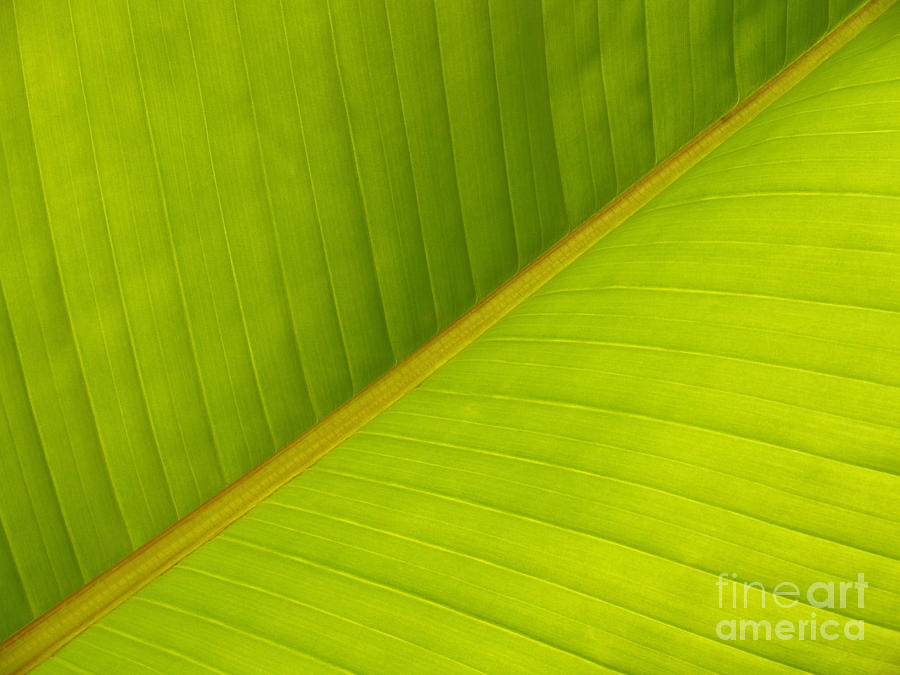 Leaf Photograph - Banana Leaf Diagonal Pattern Close-up by Anna Lisa Yoder
