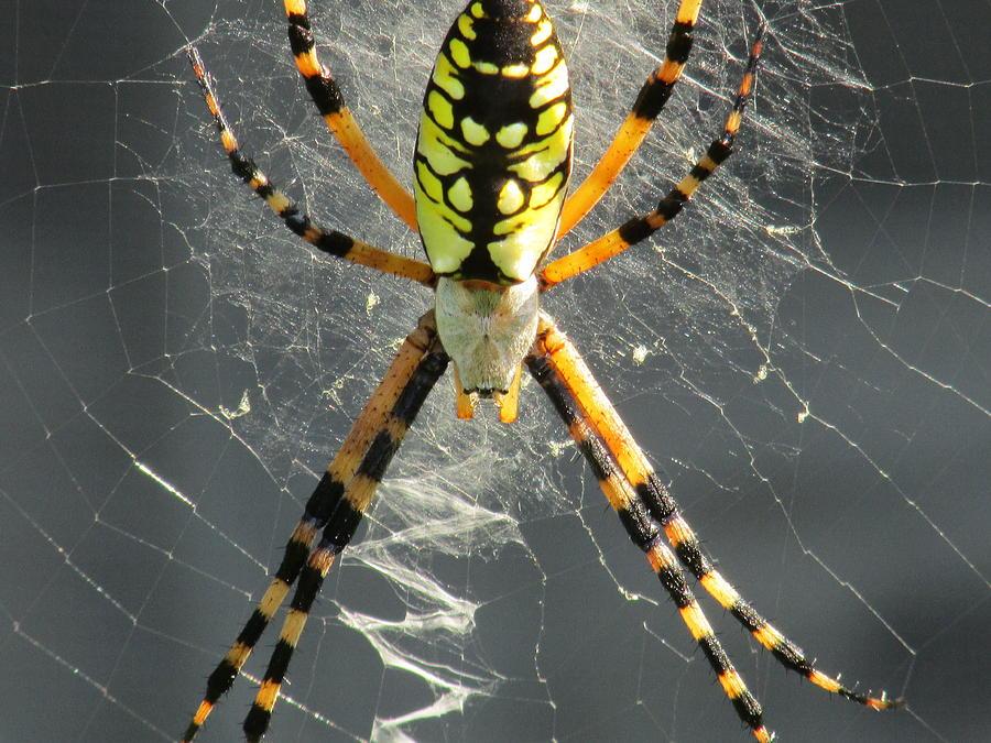 Banana Spider Photograph by Amy Chesnut