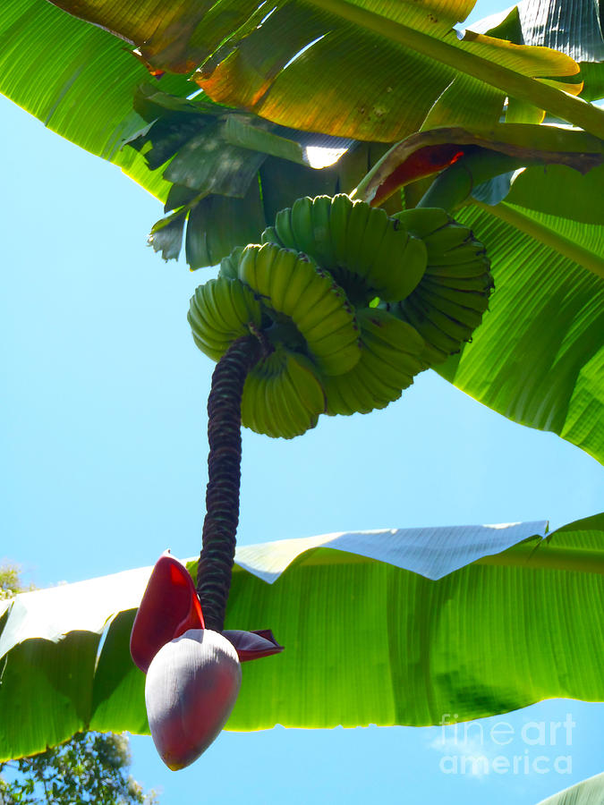Banana Photograph - Banana Stalk by Carey Chen