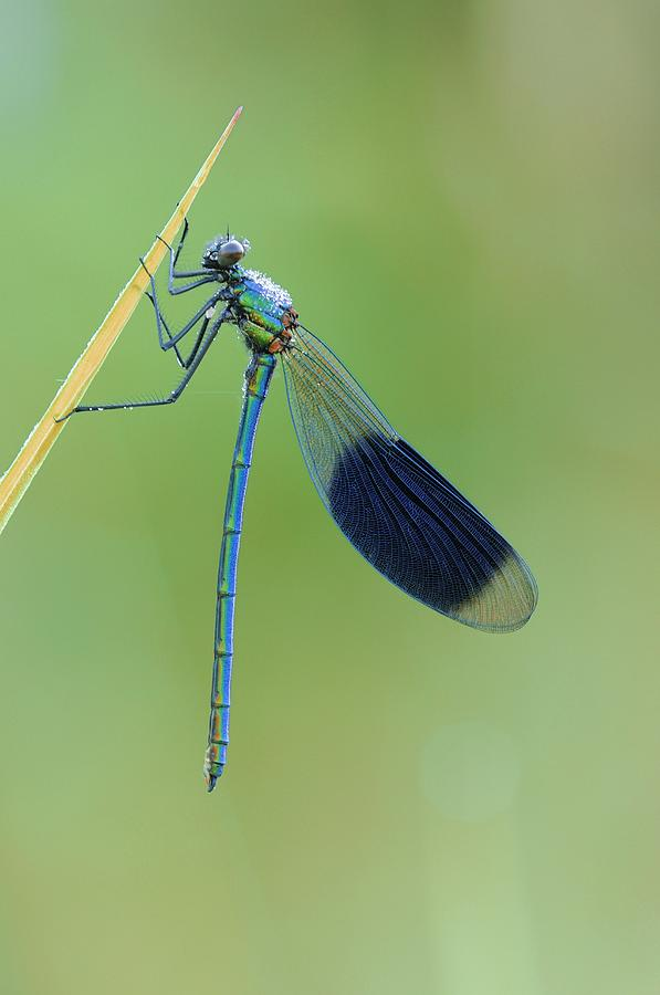 Adult Photograph - Banded Demoiselle Damselfly by Science Photo Library