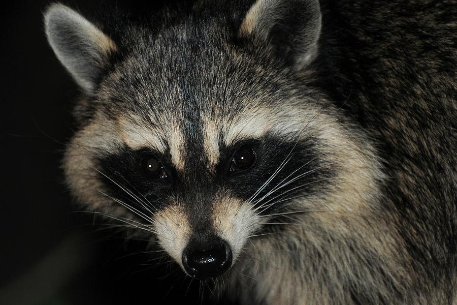 Bandit Masked Raccoon