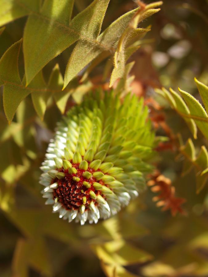 Banksia Baxteri Bud Photograph