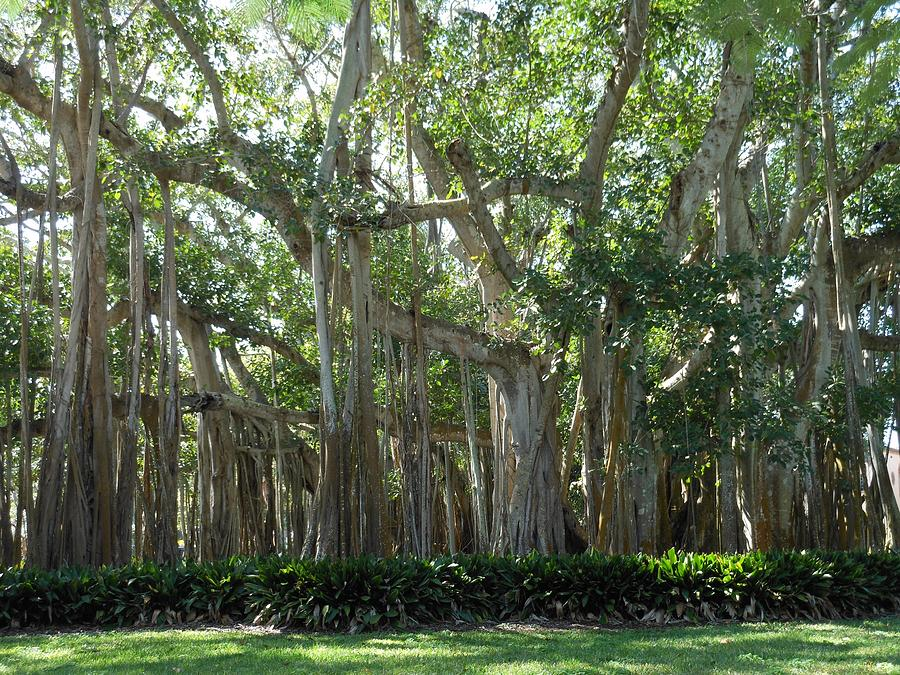 Banyan Tree Photograph - Banyan Tree by Kay Gilley