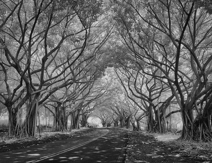 Banyan Tree Lined Road by Michael Yeager