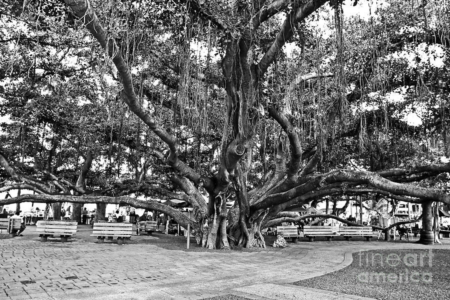 Banyan Tree Photograph - Banyan Tree by Scott Pellegrin