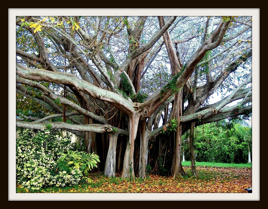 Banyon Tree Photograph by Bruce Kessler