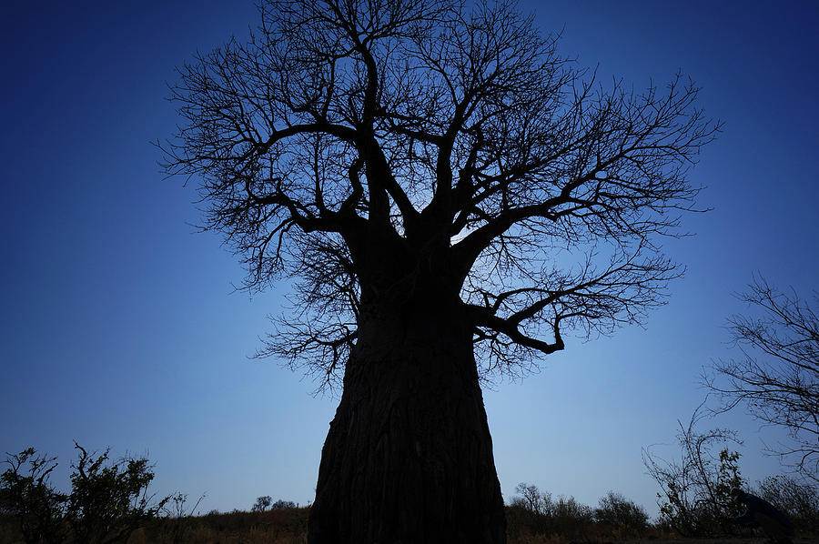 Photo Photograph - Baobab In The Okavango Delta Botswana by Hiroya Minakuchi