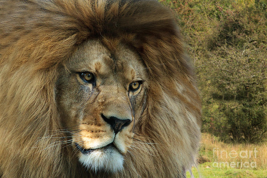Barbary Photograph - Barbary Lion by Pete Reynolds