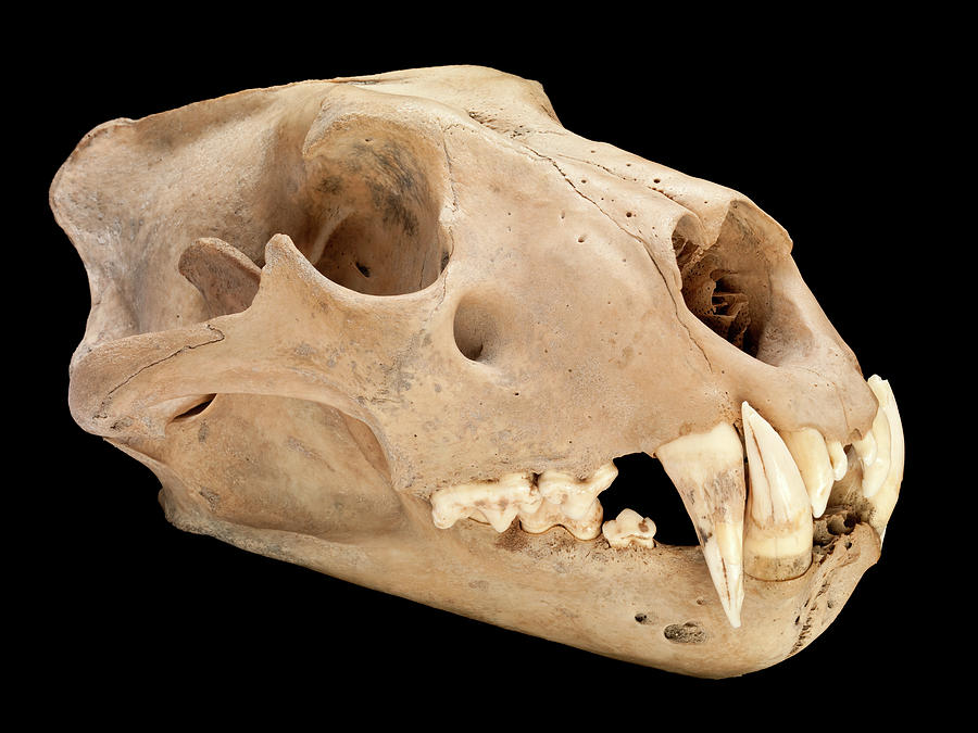 Barbary Lion Skull Photograph by Natural History Museum, London