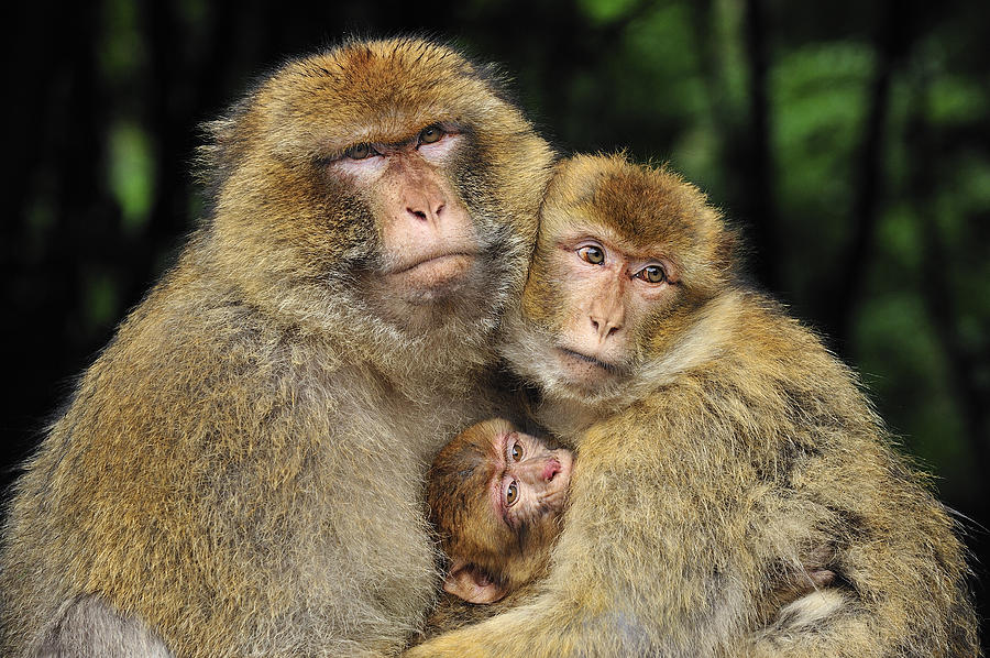 Barbary Macaque Family Photograph by Thomas Marent