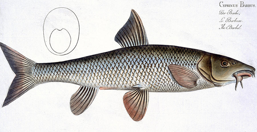 Fish Painting - Barbel by Andreas Ludwig Kruger