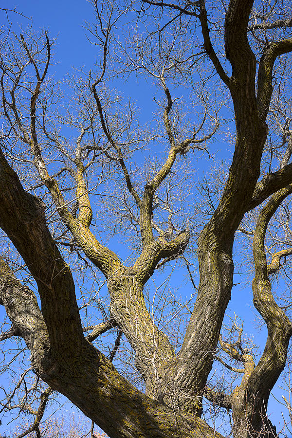 Bare Oak Tree Branches In Late Fall Photograph by Donald ...