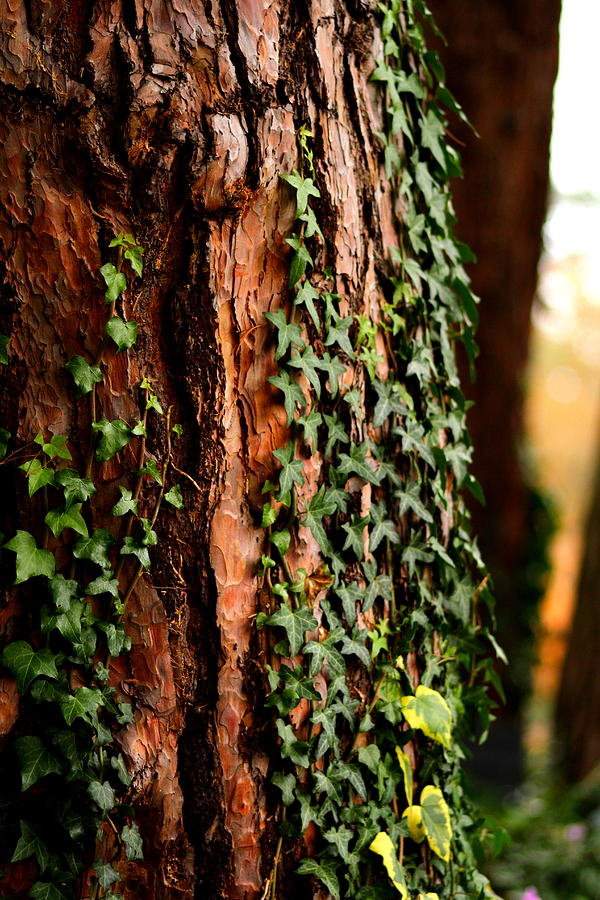 Bark Photograph - Bark And Ivy by Jacqui Collett