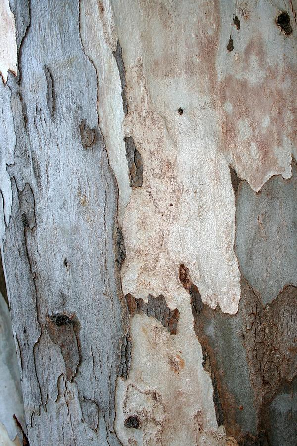Bark Photograph - Bark Of A Eucalyptus Tree by Taiche Acrylic Art