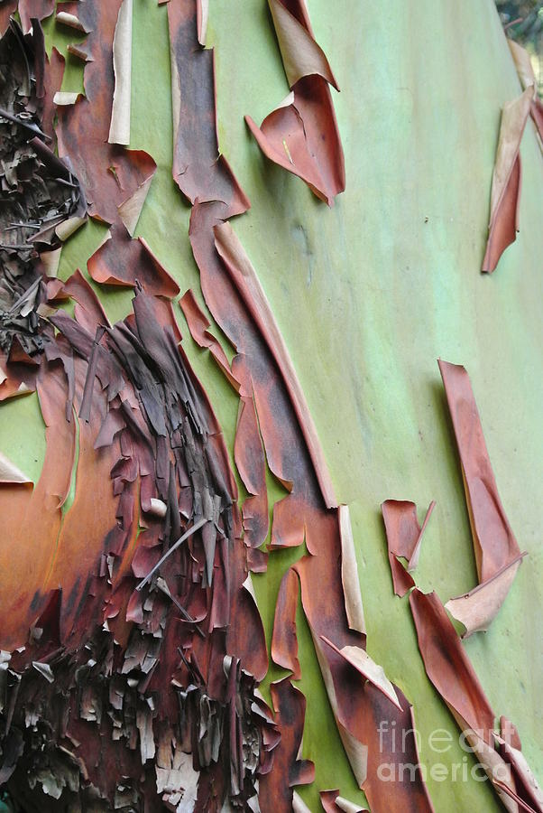 Bark Peeling On Arbutus by Sharron Cuthbertson