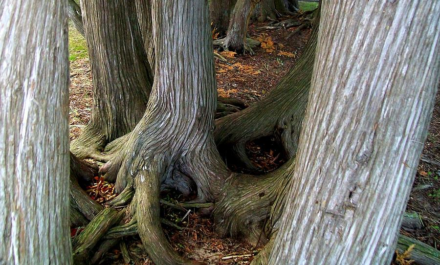 Trees Photograph - Barky Barky Trees by Michelle Calkins
