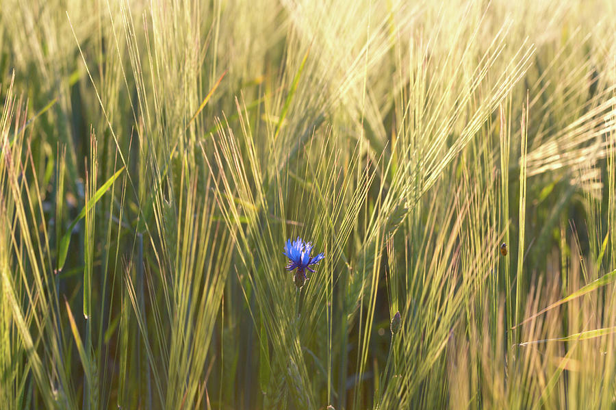 Horizontal Photograph - Barley And Corn Flowers In The Field by Panoramic Images