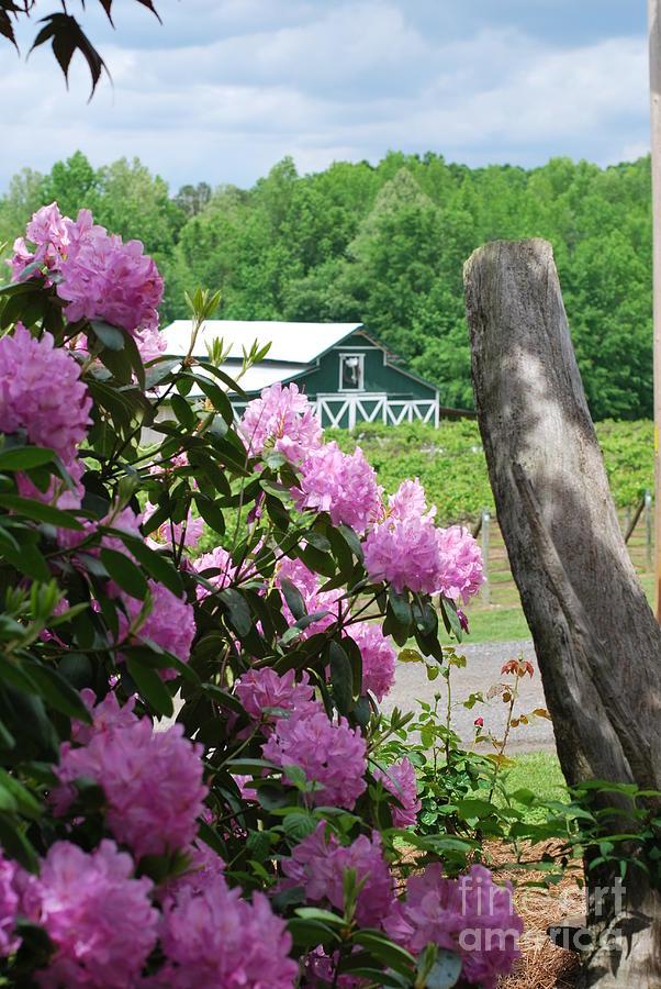 North Carolina Photograph - Barn And Blossoms by Gayle Melges