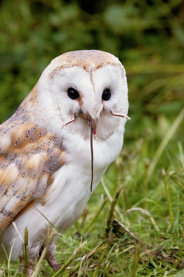 Barn Owl Eating A Mouse Photograph by Steve Allen/science ...