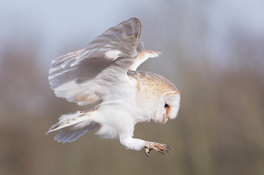 Barn Owl In Flight Before Landing Photograph by Linda Wright