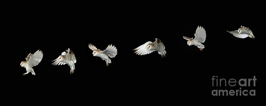 Barn Photograph - Barn Owl In Flight by Stephen Dalton