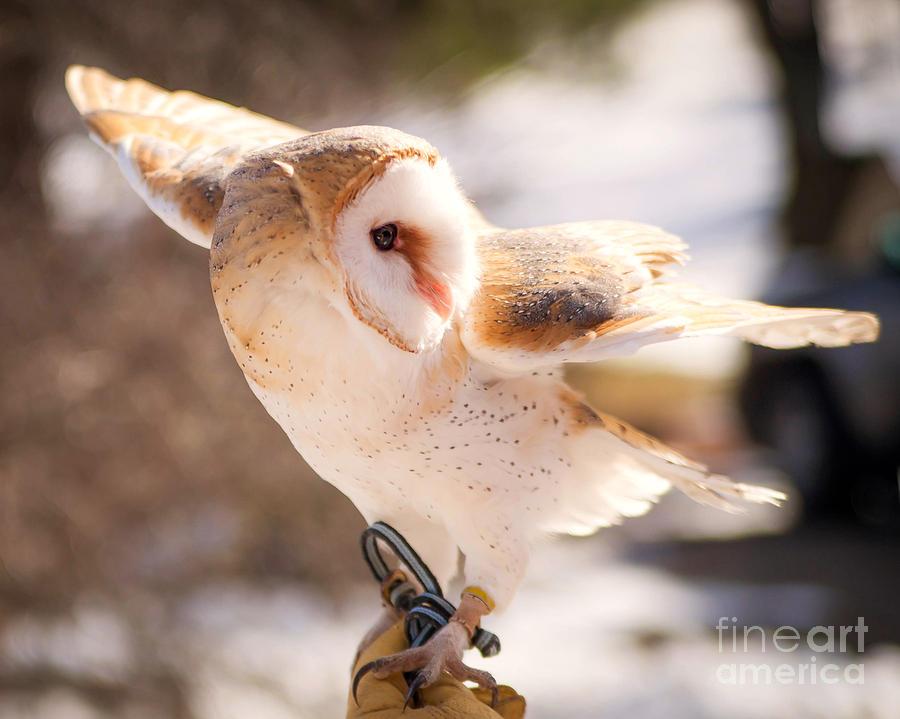 Barn Owl Photograph - Barn Owl In The Breeze by Lori England Zornes