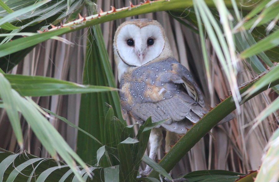 Bird Photograph - Barn Owl by Joe Sweeney