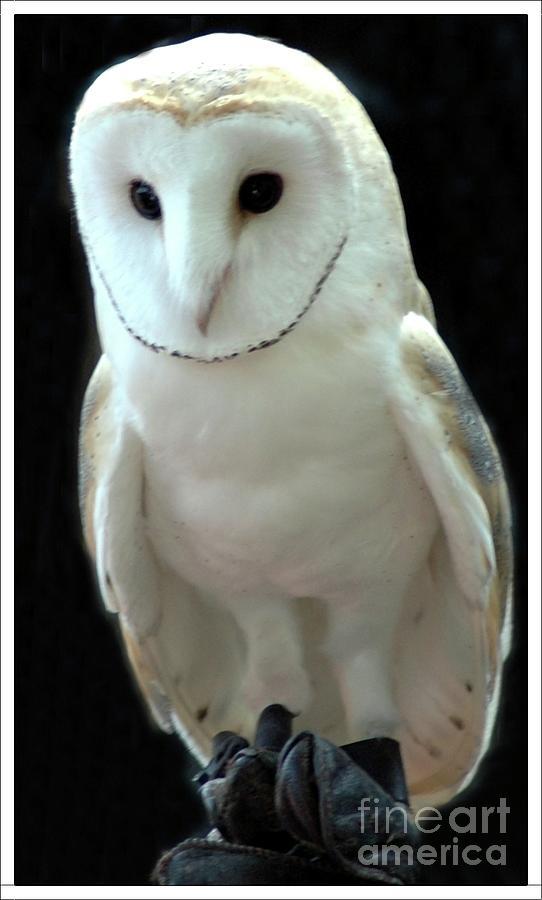 Barn Photograph - Barn Owl. by Kathleen Struckle