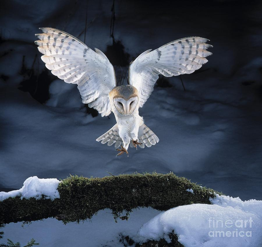 Barn Owl Landing Photograph by Manfred Danegger Labyrinth Owl Tattoo