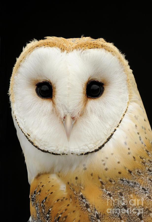 Barn Owl Photograph - Barn Owl by Malcolm Schuyl FLPA