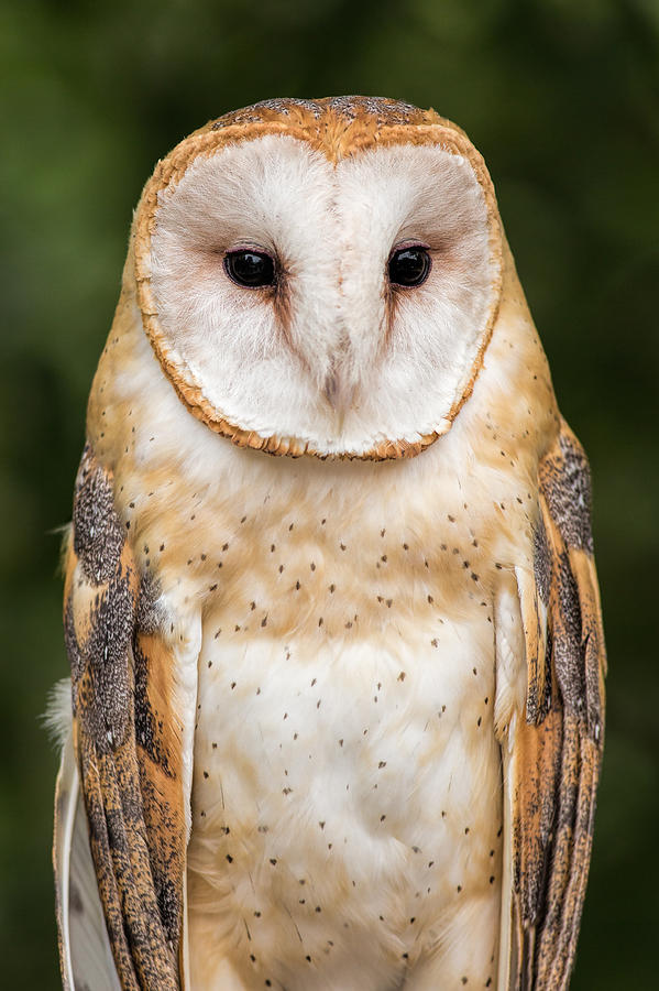 Barn Owl Portrait Photograph