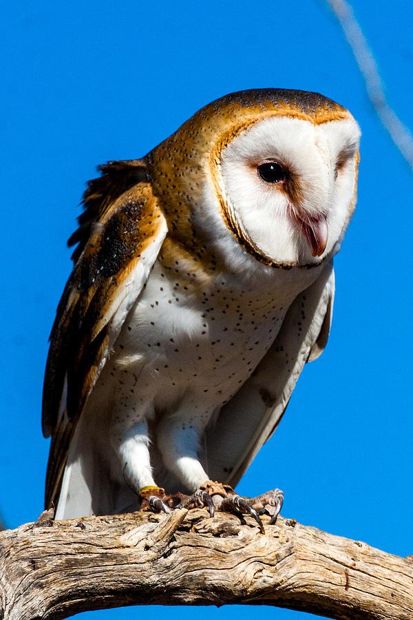 Owl Photograph - Barn Owl by Ronald Hunt