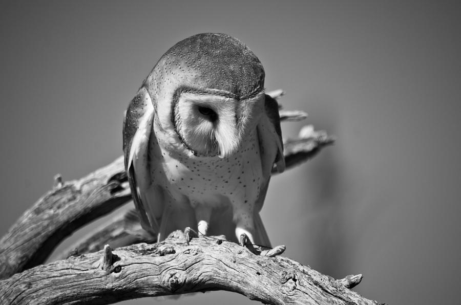 Owl Photograph - Barn Owl Thoughts  by Swift Family
