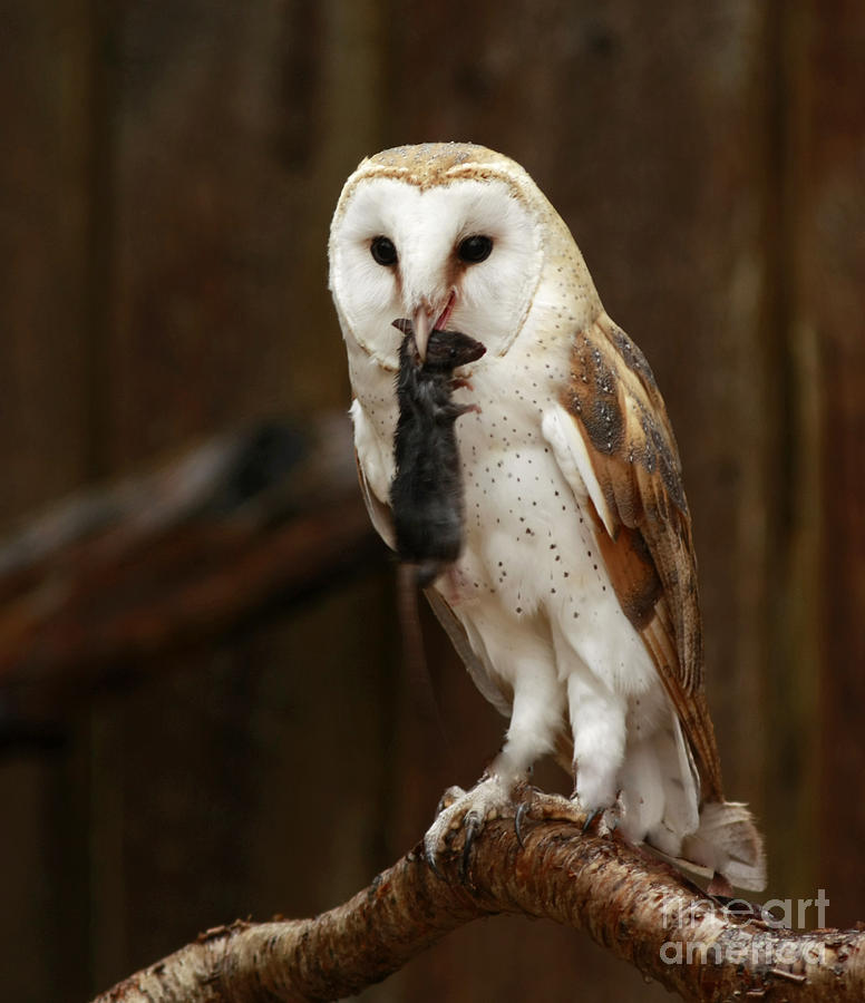 Barn Photograph - Barn Owl With Catch Of The Day by Inspired Nature Photography Fine Art Photography