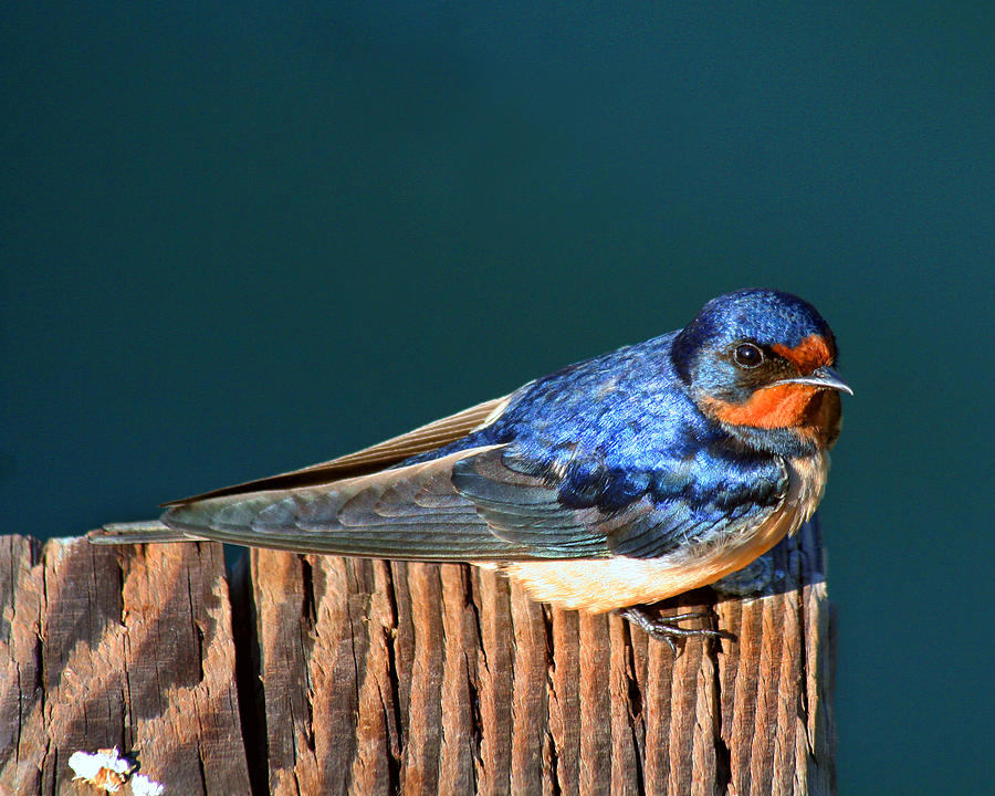 Swallow Photograph - Barn Swallow Perching by Bob and Jan Shriner