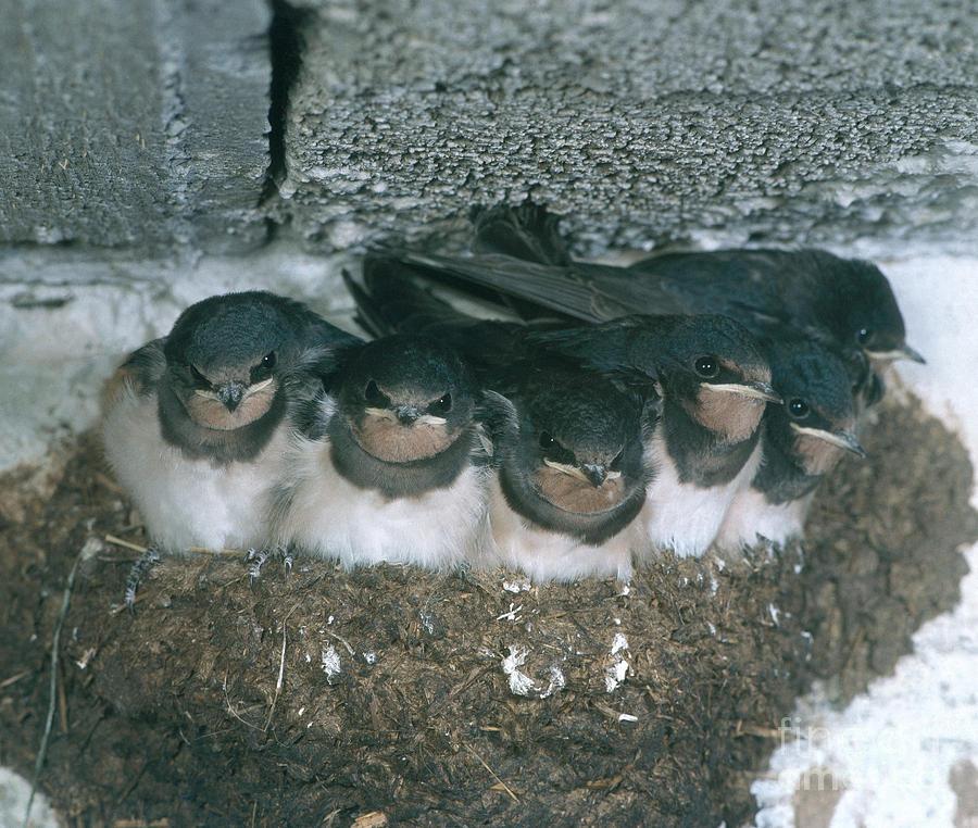 Barn Swallow Photograph - Barn Swallows by Hans Reinhard