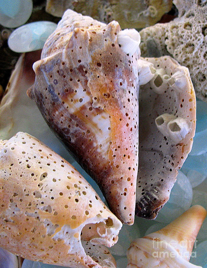 Shells Photograph - Barnacles by Colleen Kammerer